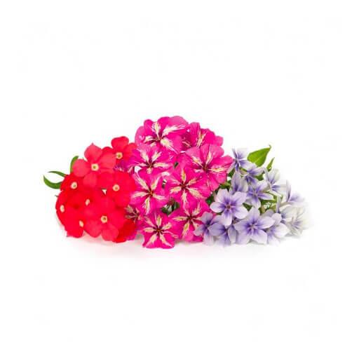 flore phlox para huerto de interior