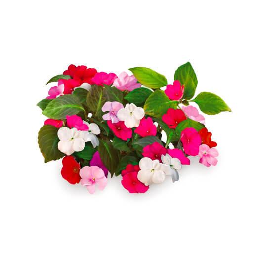 flores impatiens para huerto de hogar